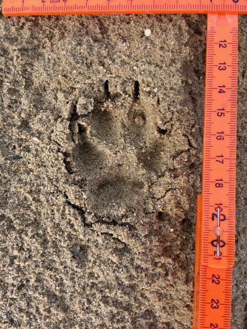 Ein Abdruck von einem Tier im Sand wird vermessen.